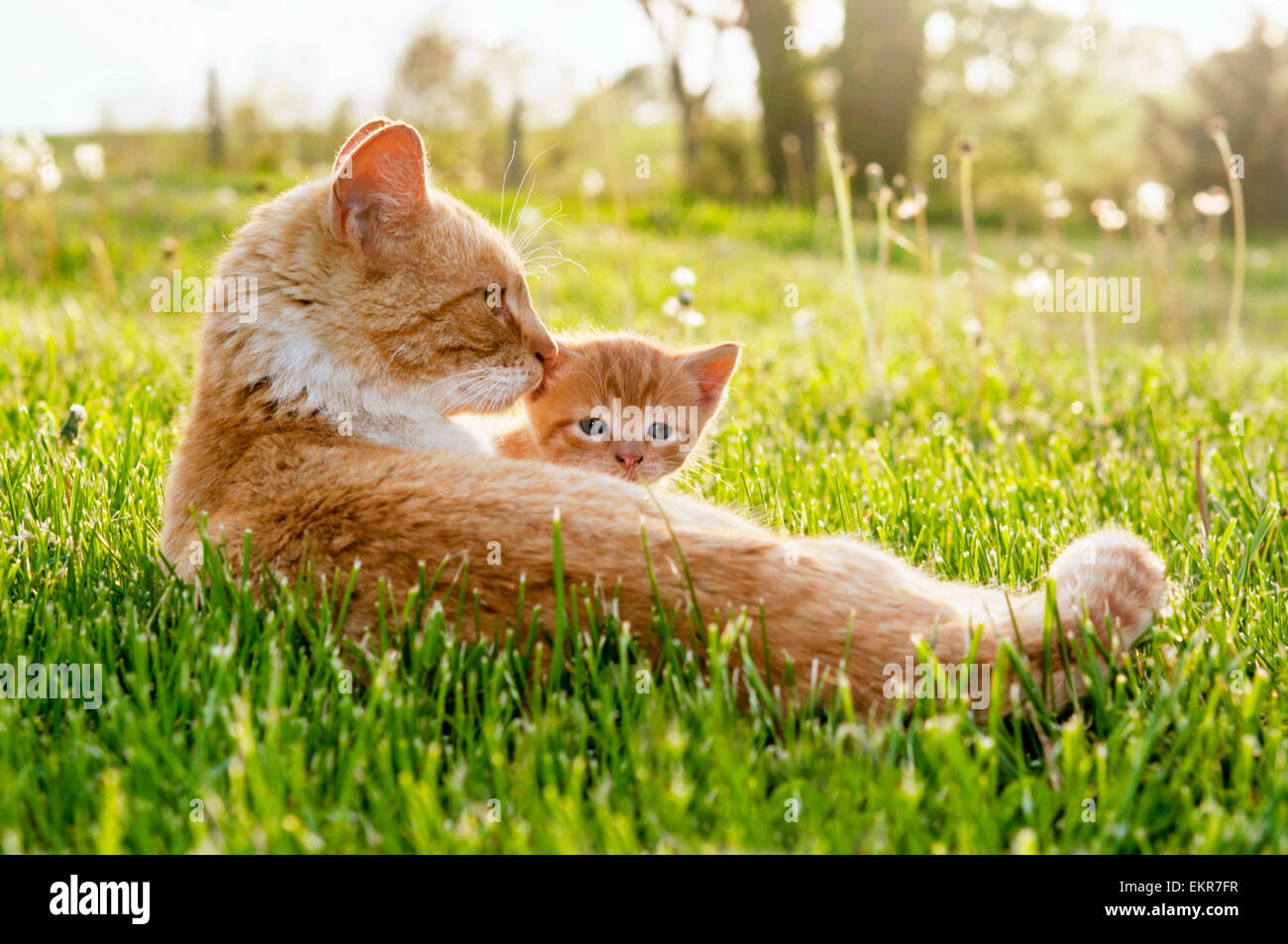 Momma cat peeking kitten - Stock Image
