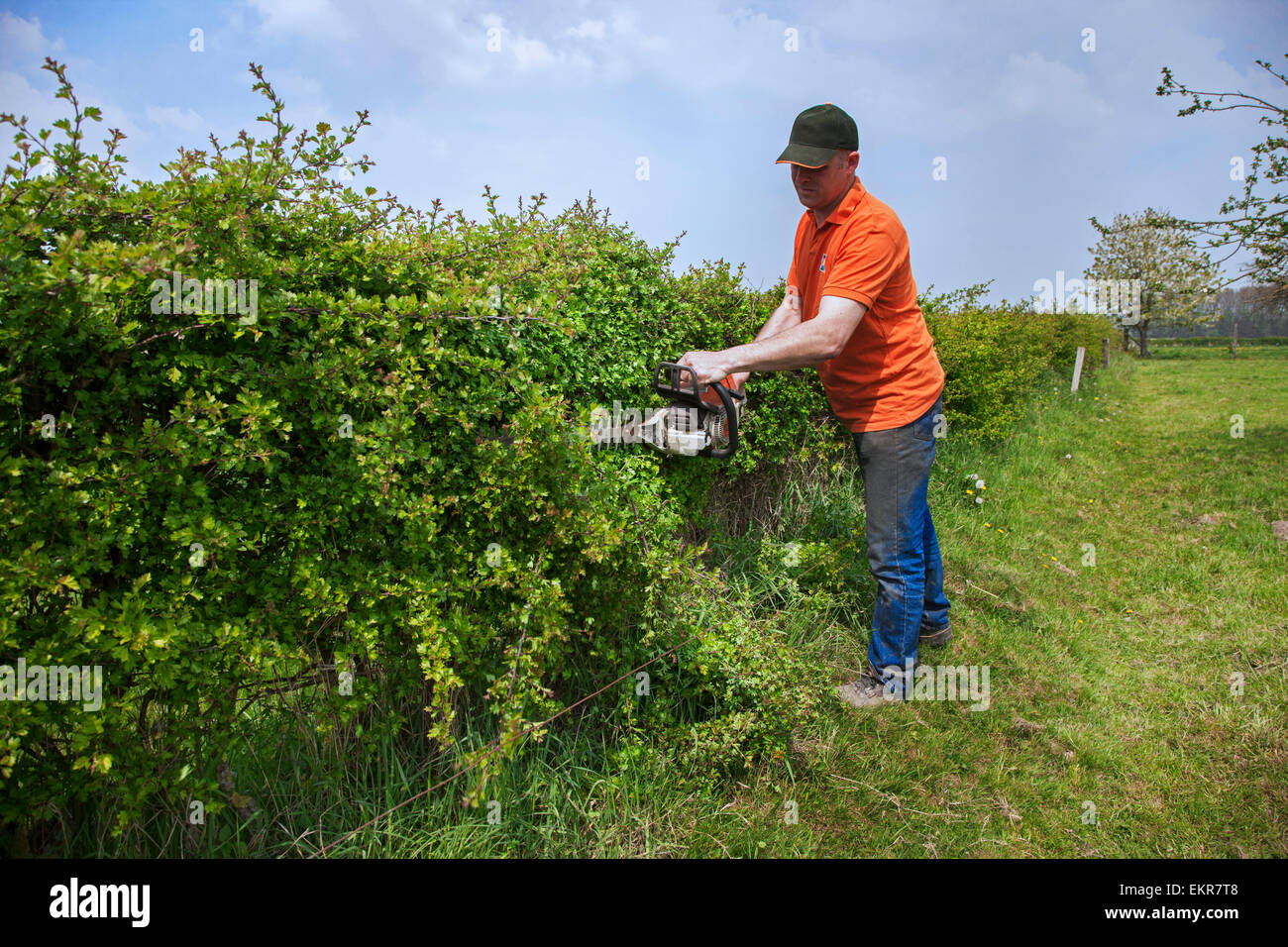 Man trimming hedge with gasoline-powered hedge trimmer - Stock Image