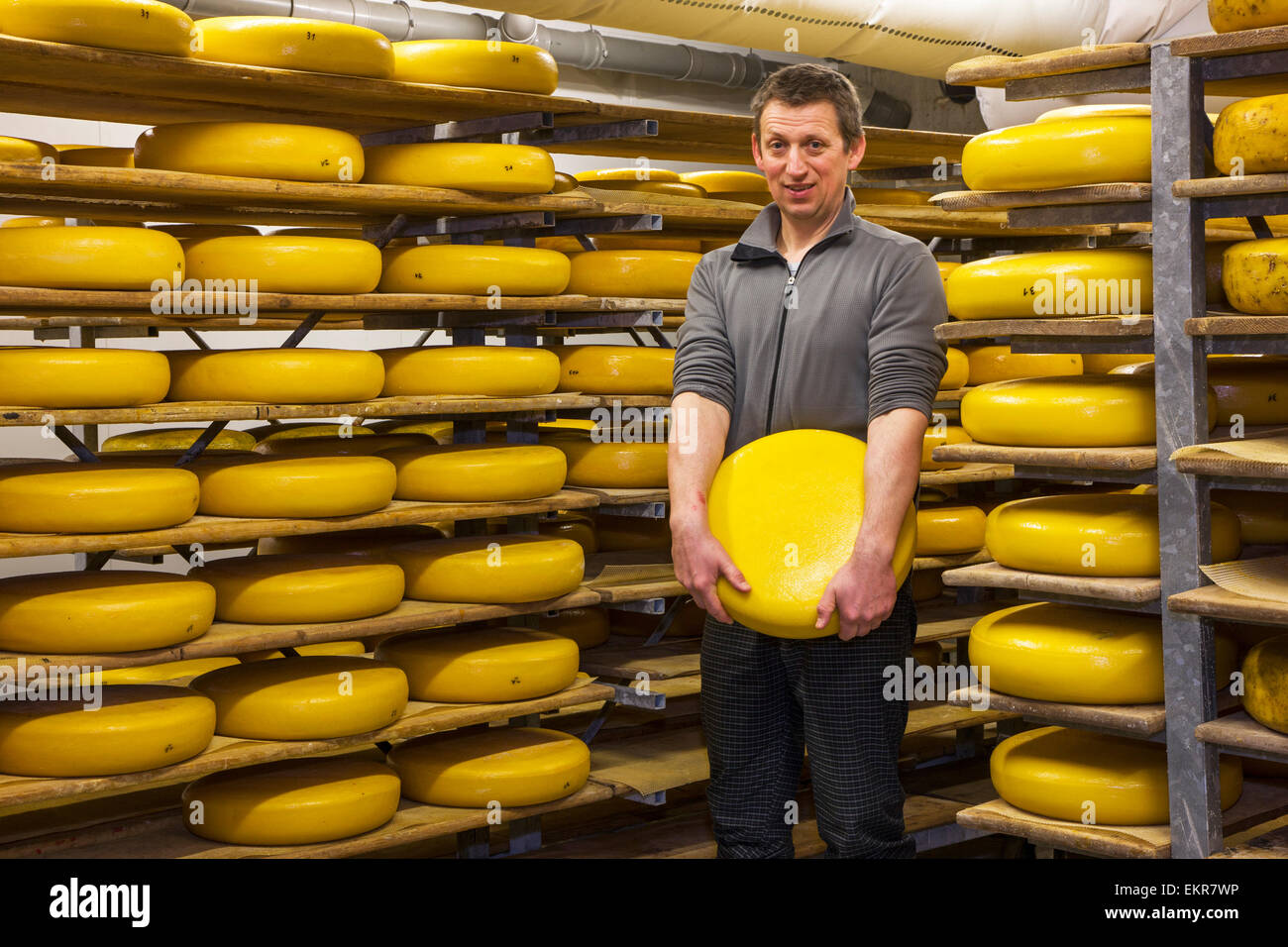 Cheese maker  with regional artisan wheel cheeses aging on shelves in cheese dairy - Stock Image