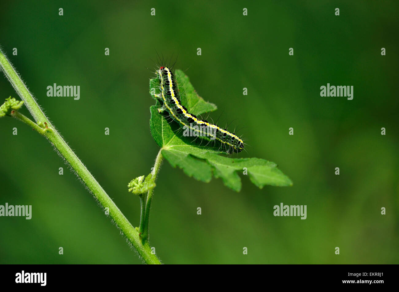 Green caterpillar - Stock Image