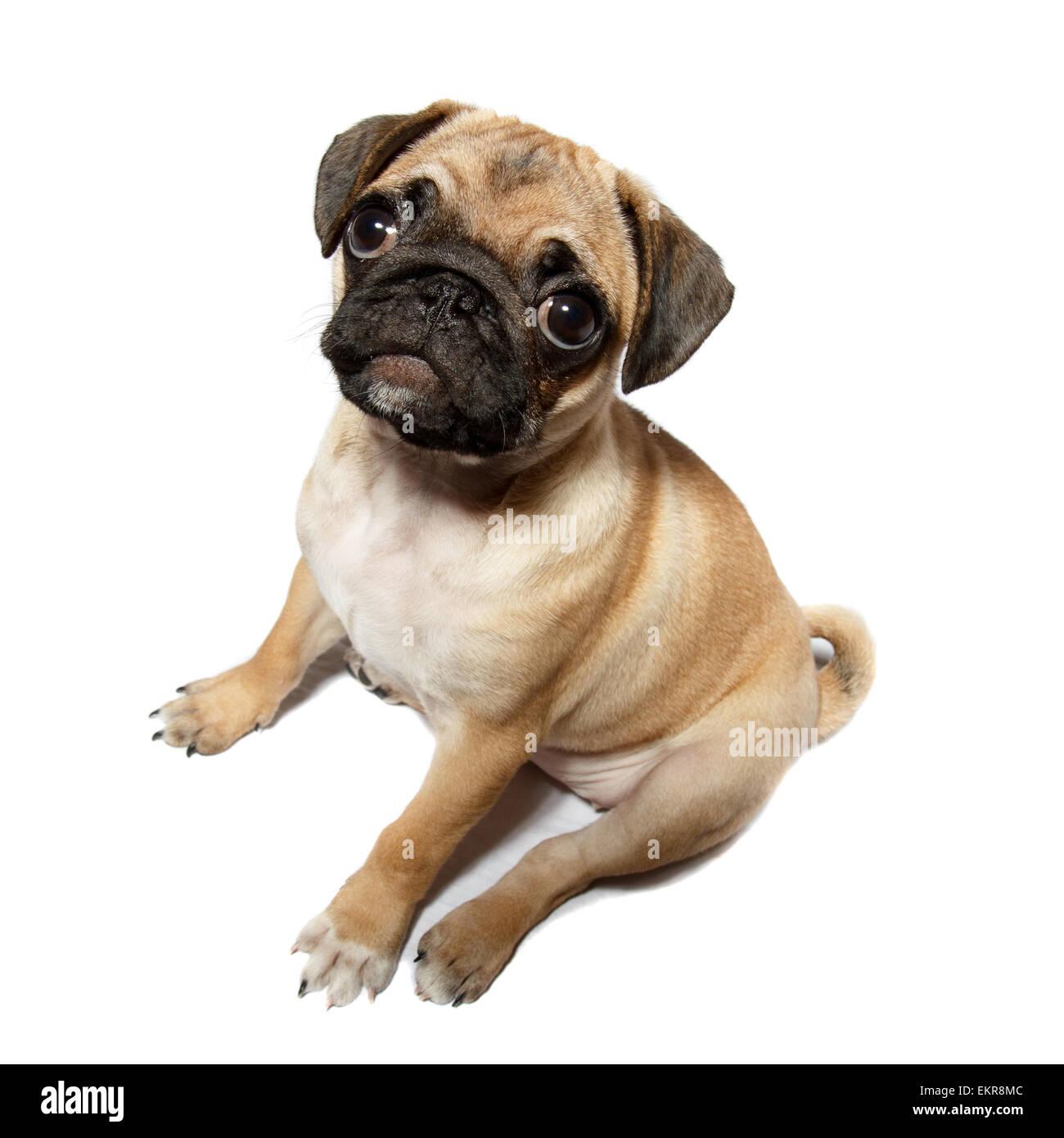 pug gog - Stock Image