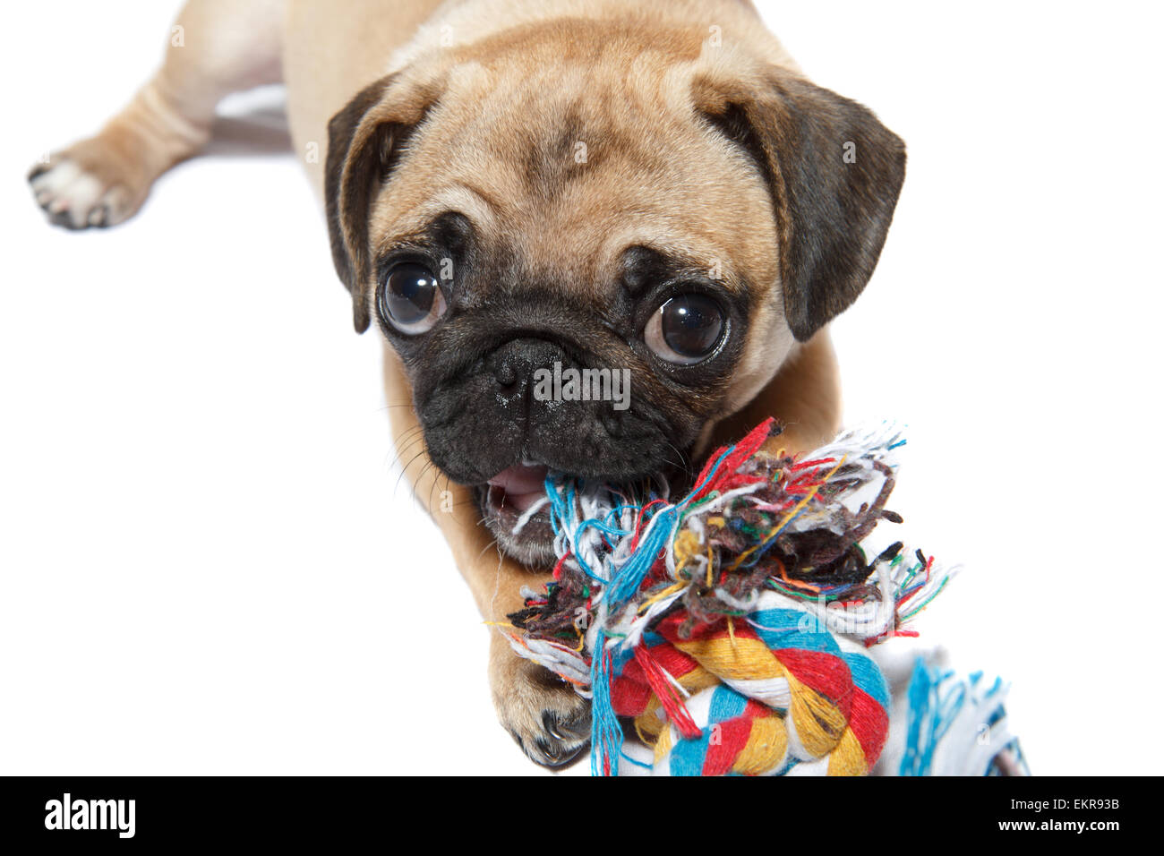 pug dog with a toy - Stock Image
