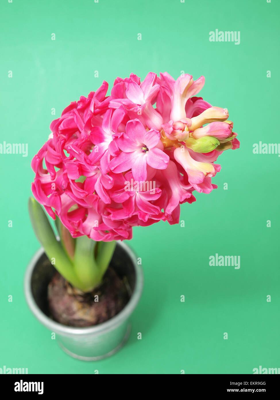 Spring pink hyacinth - Stock Image