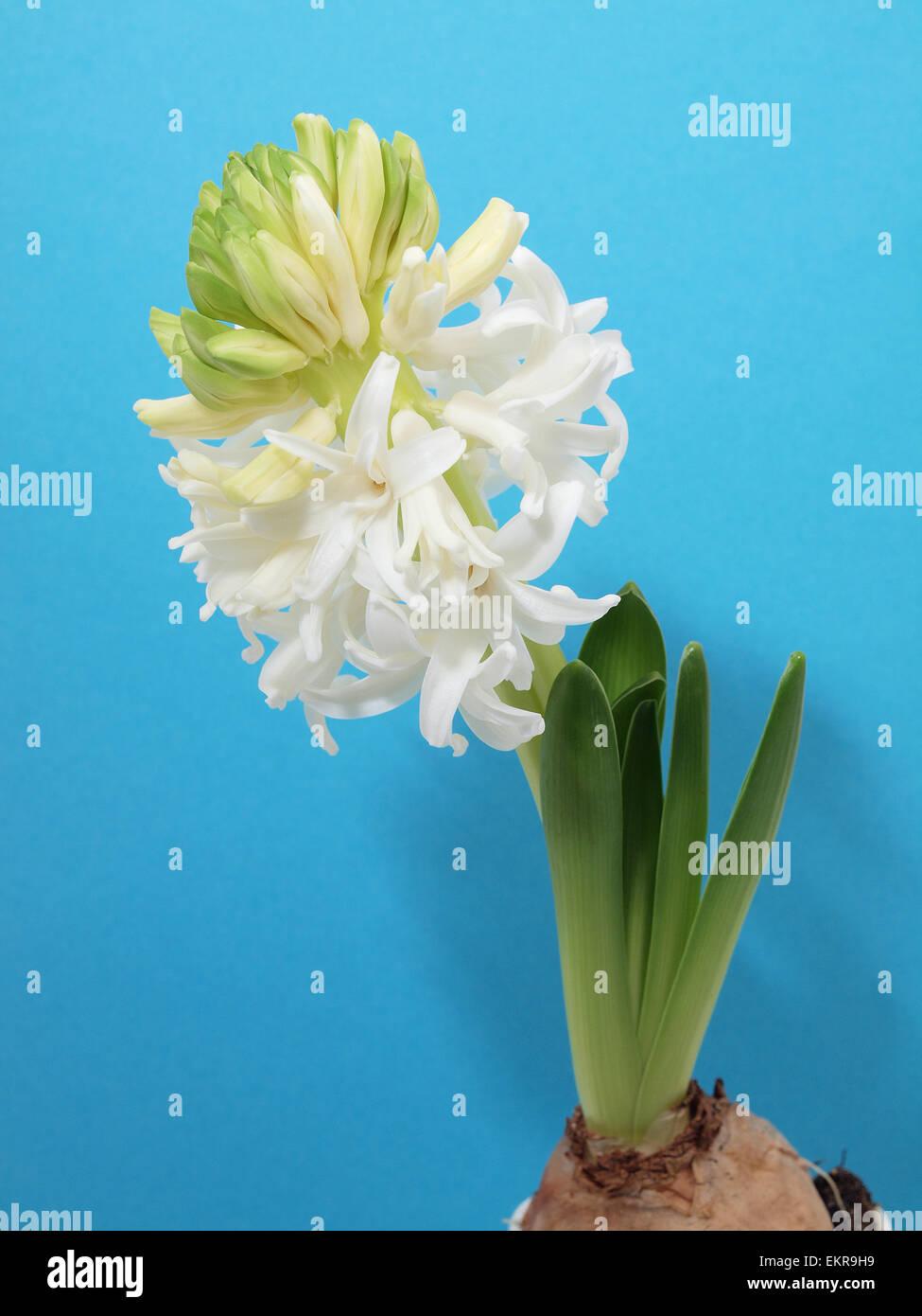 Spring white hyacinth - Stock Image