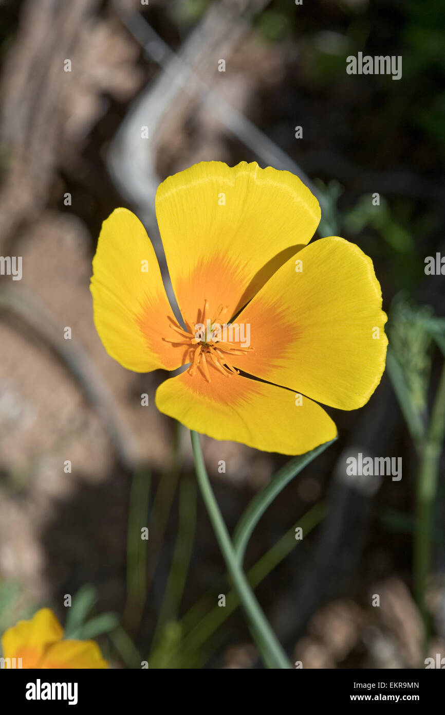 California Poppy (Eschscholzia californica ss. mexicana) Tucson, Arizona - Stock Image