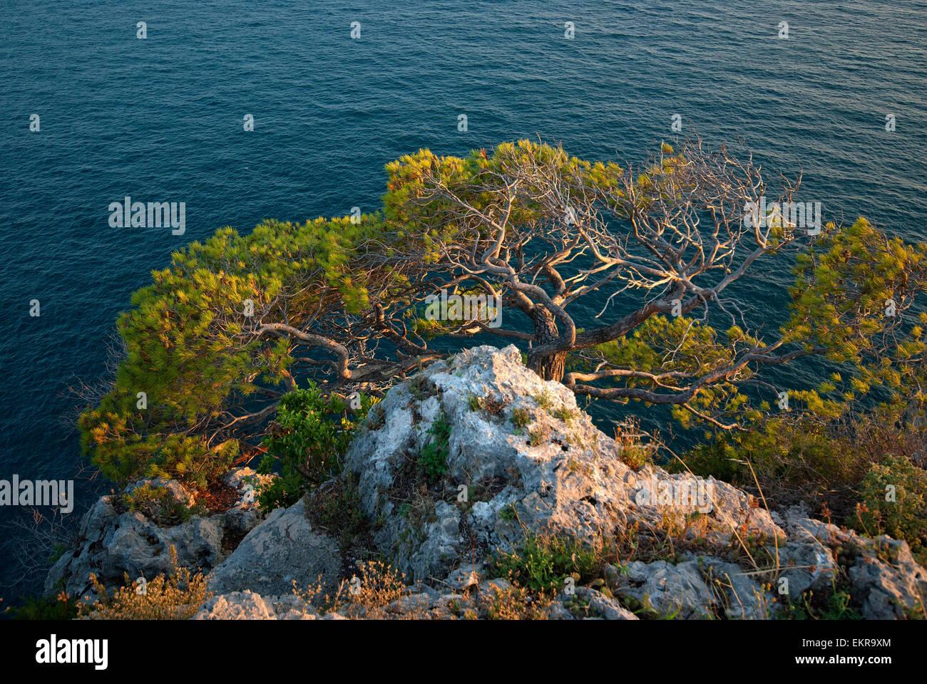 Pino d'Aleppo, aleppo pine (Pinus halepensis), Mount Orlando Regional Park, Gaeta, Lazio, Italy - Stock Image