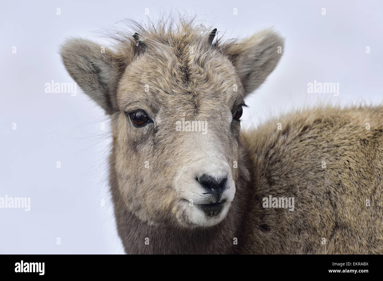 A close up animal portrait of a baby Bighorn Sheep, - Stock Image