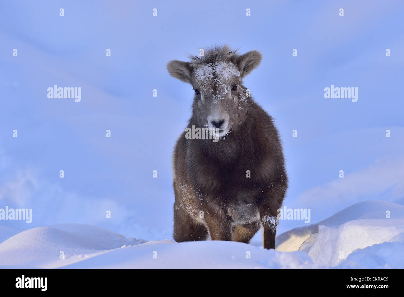 A baby bighorn sheep walking through the deep winter snow in evening light - Stock Image