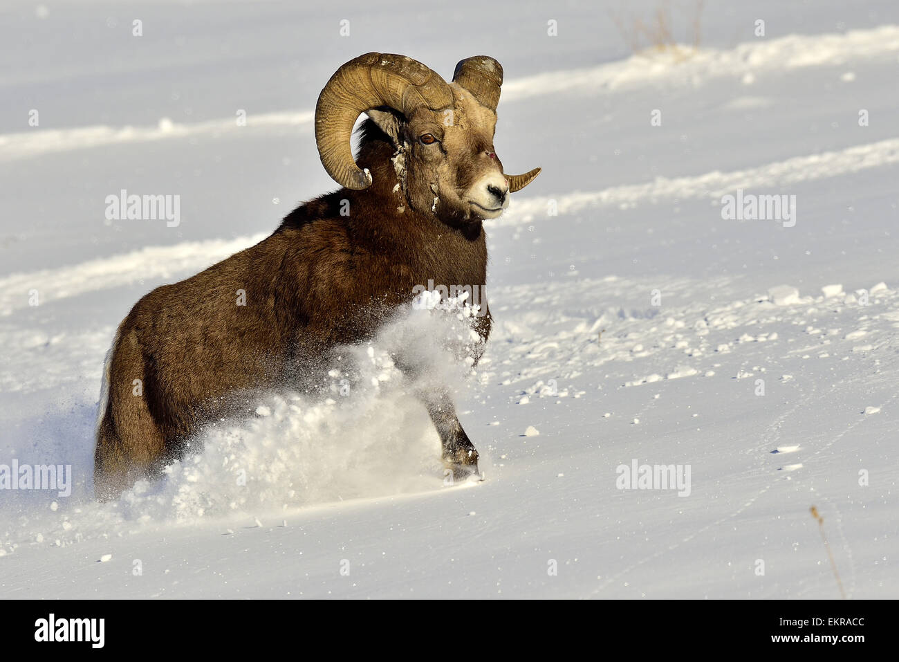 A mature bighorn sheep  'Orvis canadensis'   running through the deep snow - Stock Image