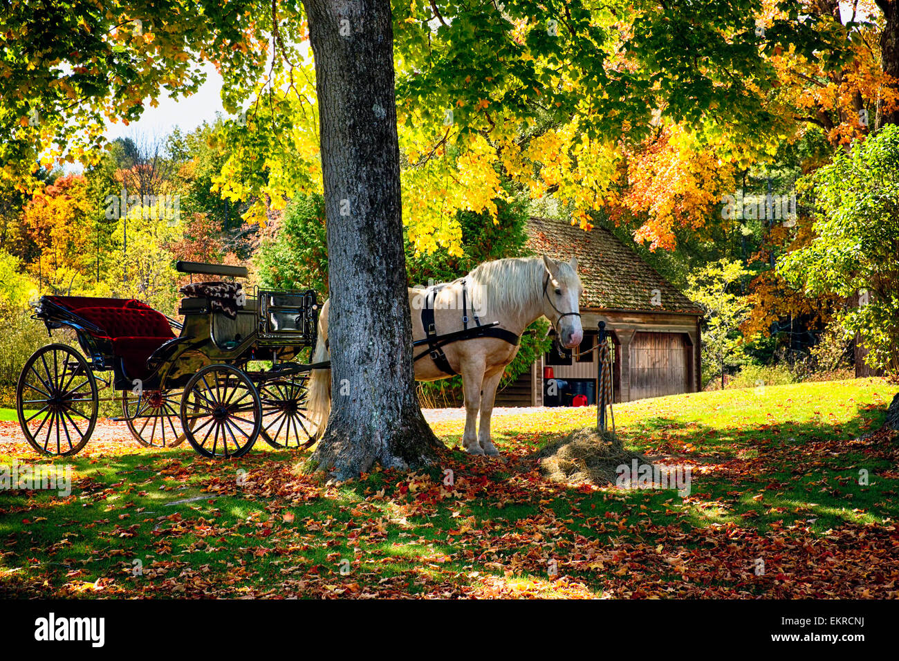Low Angle View of a Horse-Drawn Carriage Under a Tree During a Fall Afternoon, Bennington, Vermont - Stock Image