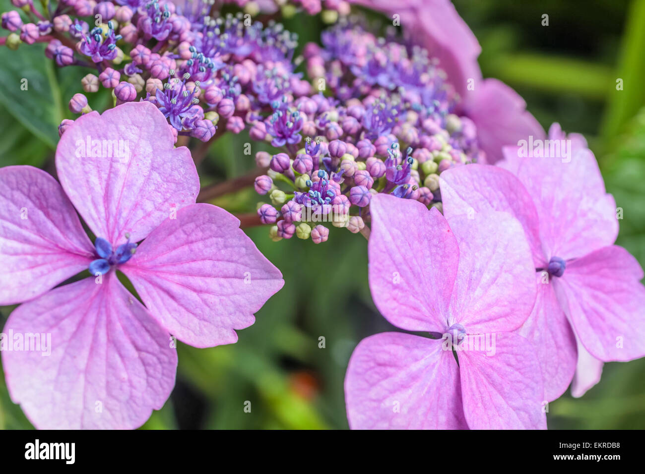 Purple hydrangea blossoms in the rain at Derrynane House, Caherdaniel, Killarney, County Kerry, Ireland - Stock Image
