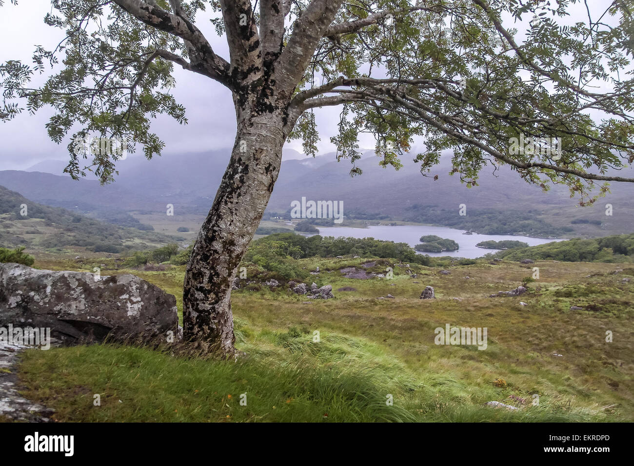 Tree and landscape at Ladies View, Killarney National Park, Iveragh Peninsula, County Kerry, Ireland - Stock Image