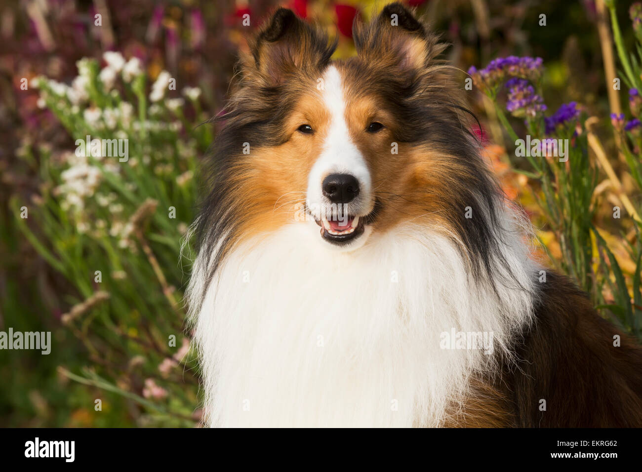 Shetland Sheepdog in autumn; Waterford, Connecticut, United States of America Stock Photo