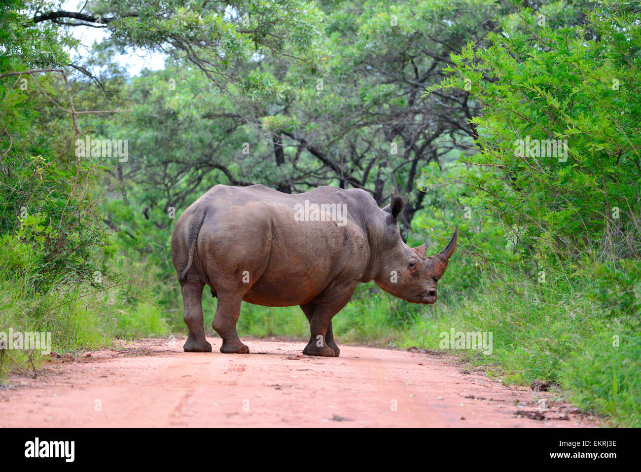 White rhino crossing road in world famous Kruger National Park, Mpumalanga, South Africa. - Stock Image