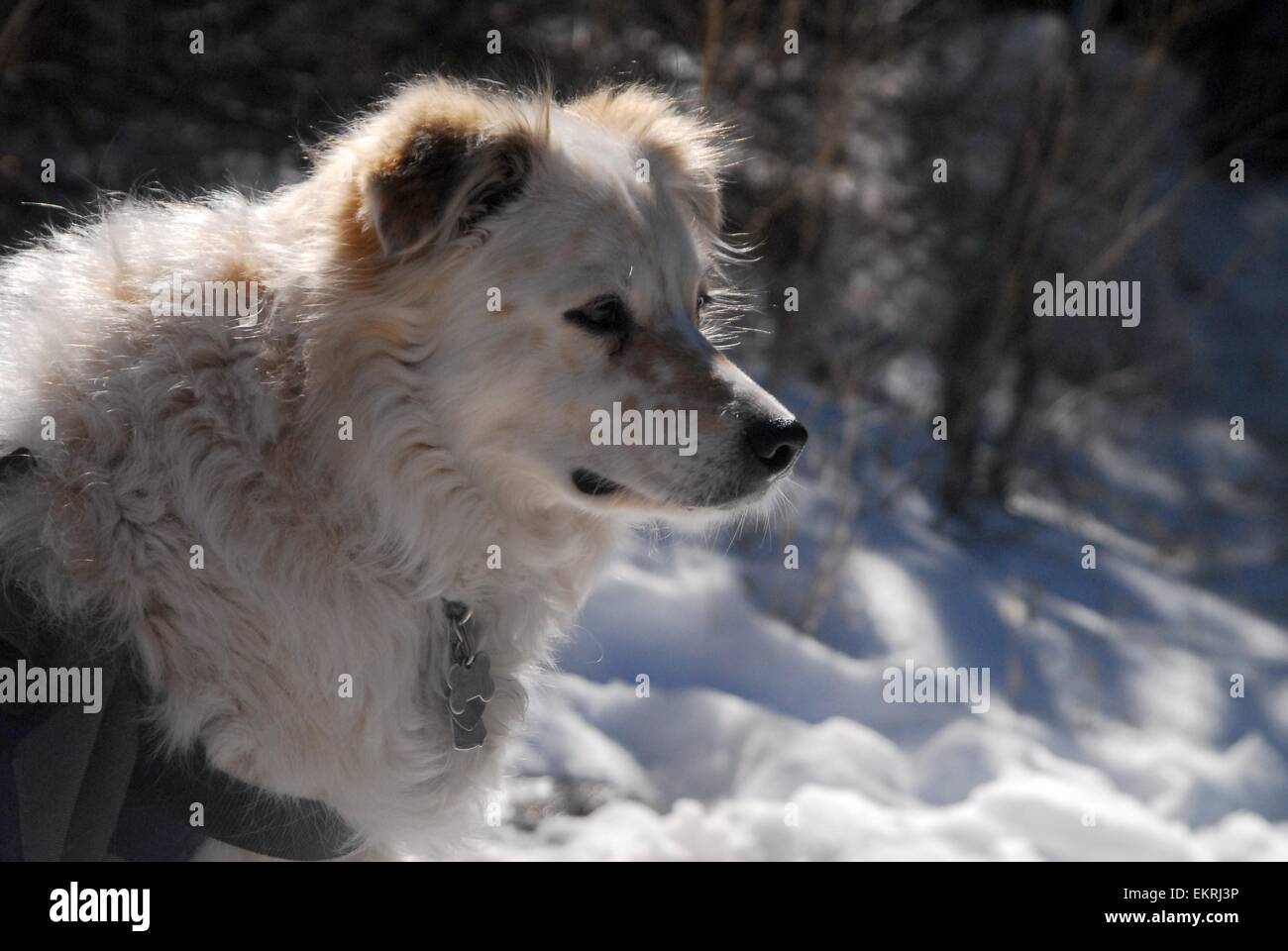 Intent dog standing in snow on mountain trail - New Mexico - USA - Stock Image