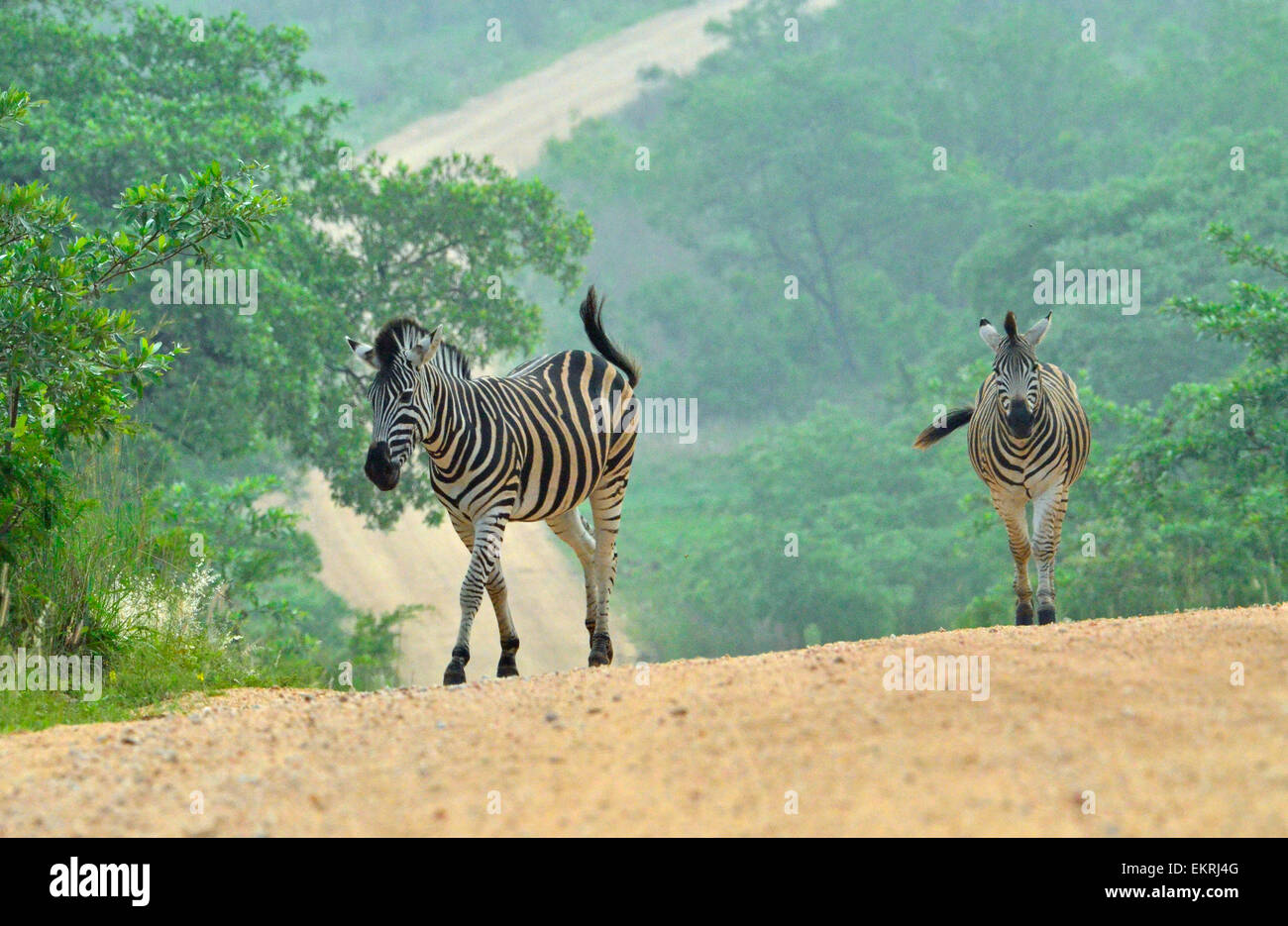 Two zebras crossing road in world famous Kruger National Park, Mpumalanga, South Africa. Stock Photo