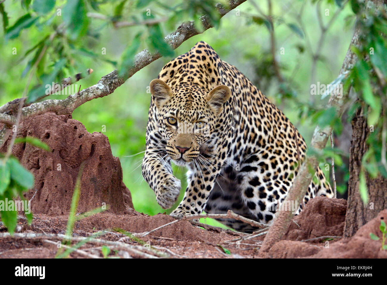 Stalking leopard in world famous Kruger National Park, Mpumalanga, South Africa. - Stock Image