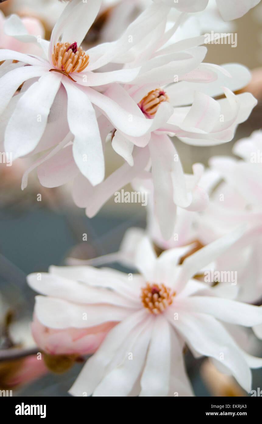 Magnolia Star bush - Stock Image