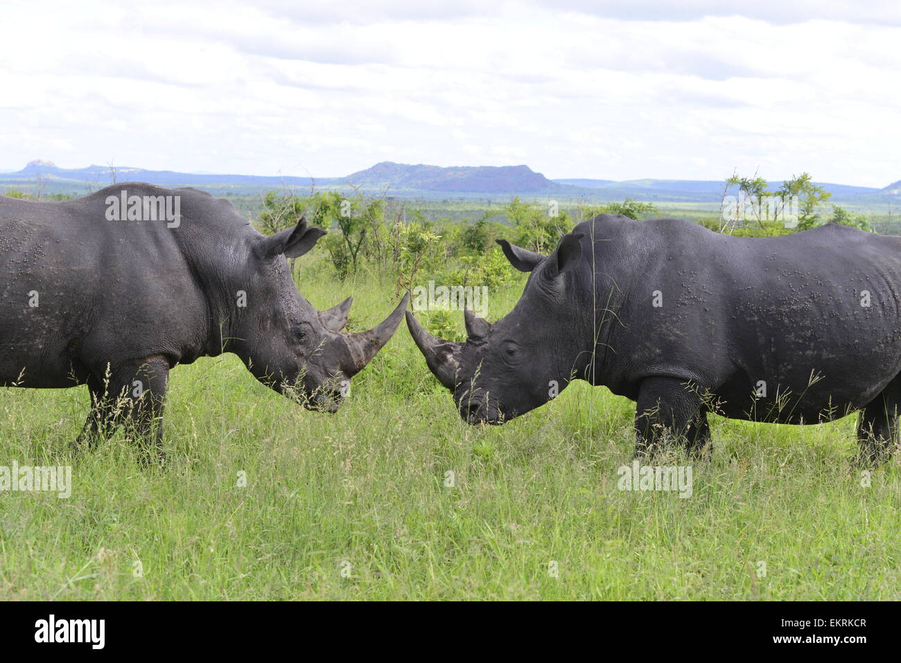 Two white rhino bulls, Ceratotherium simum, fighting in world famous Kruger National Park, Mpumalanga, South Africa. - Stock Image
