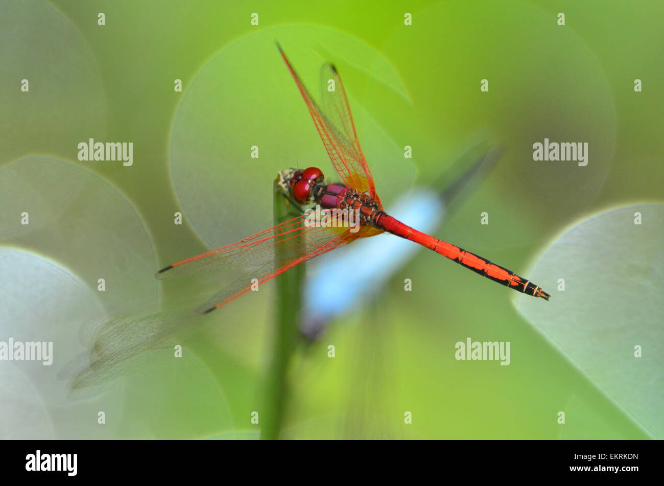 Red dragonfly sitting on reed in world famous Kruger National Park, Mpumalanga, South Africa. - Stock Image