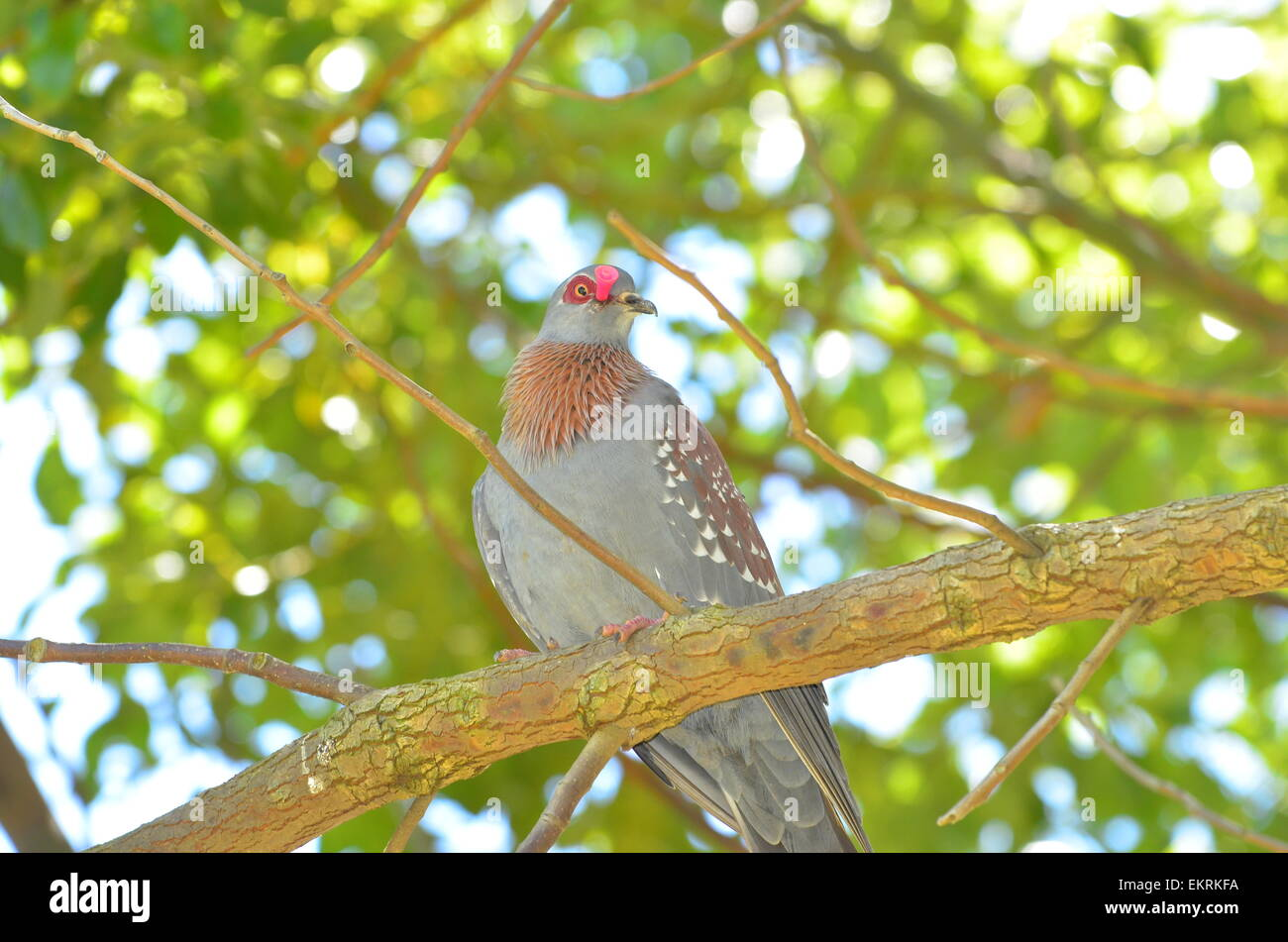 Rock pigeon or speckled pigeon with arrow stuck in its head. - Stock Image
