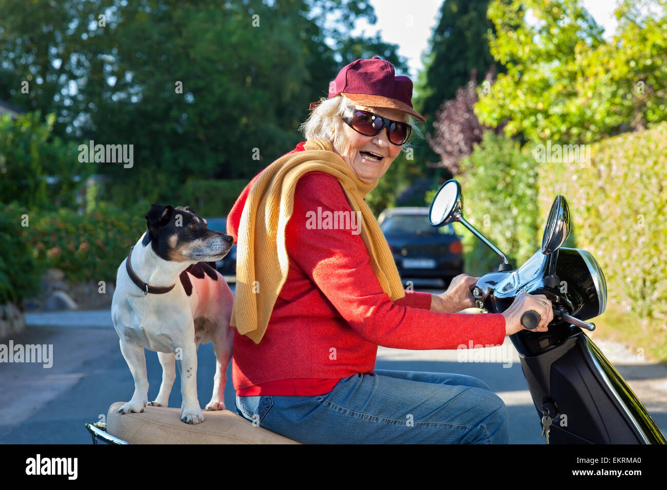 Elderly lady in trendy modern clothes laughing happily as she takes her dog  a small jack russell terrier  for a - Stock Image