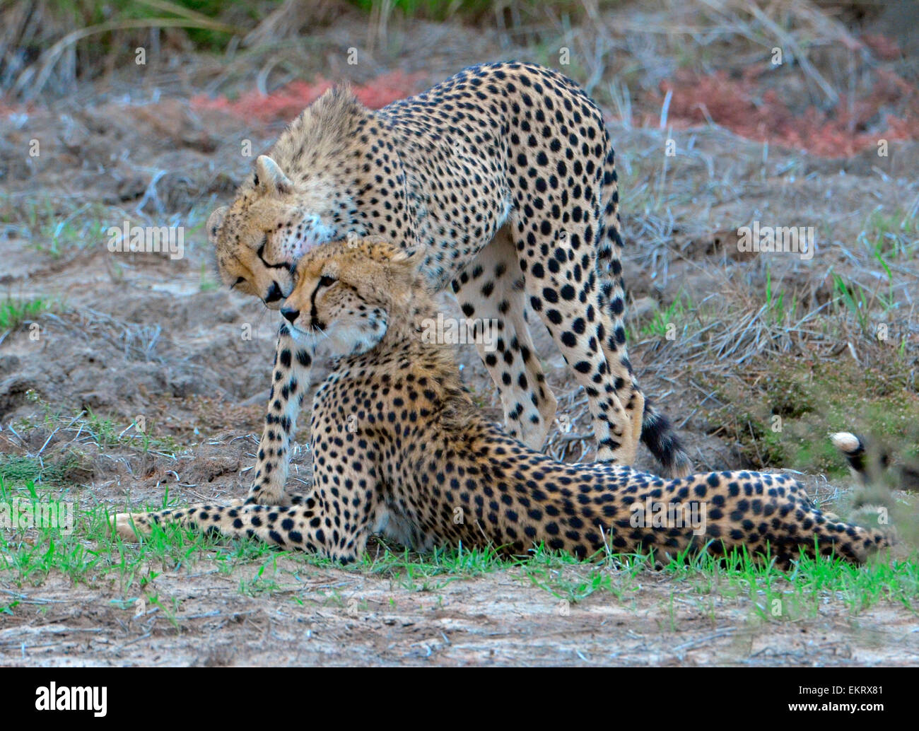 Two female cheetahs, Acinonyx jubatus,  licking each other's muzzels, Kruger Park, South Africa - Stock Image