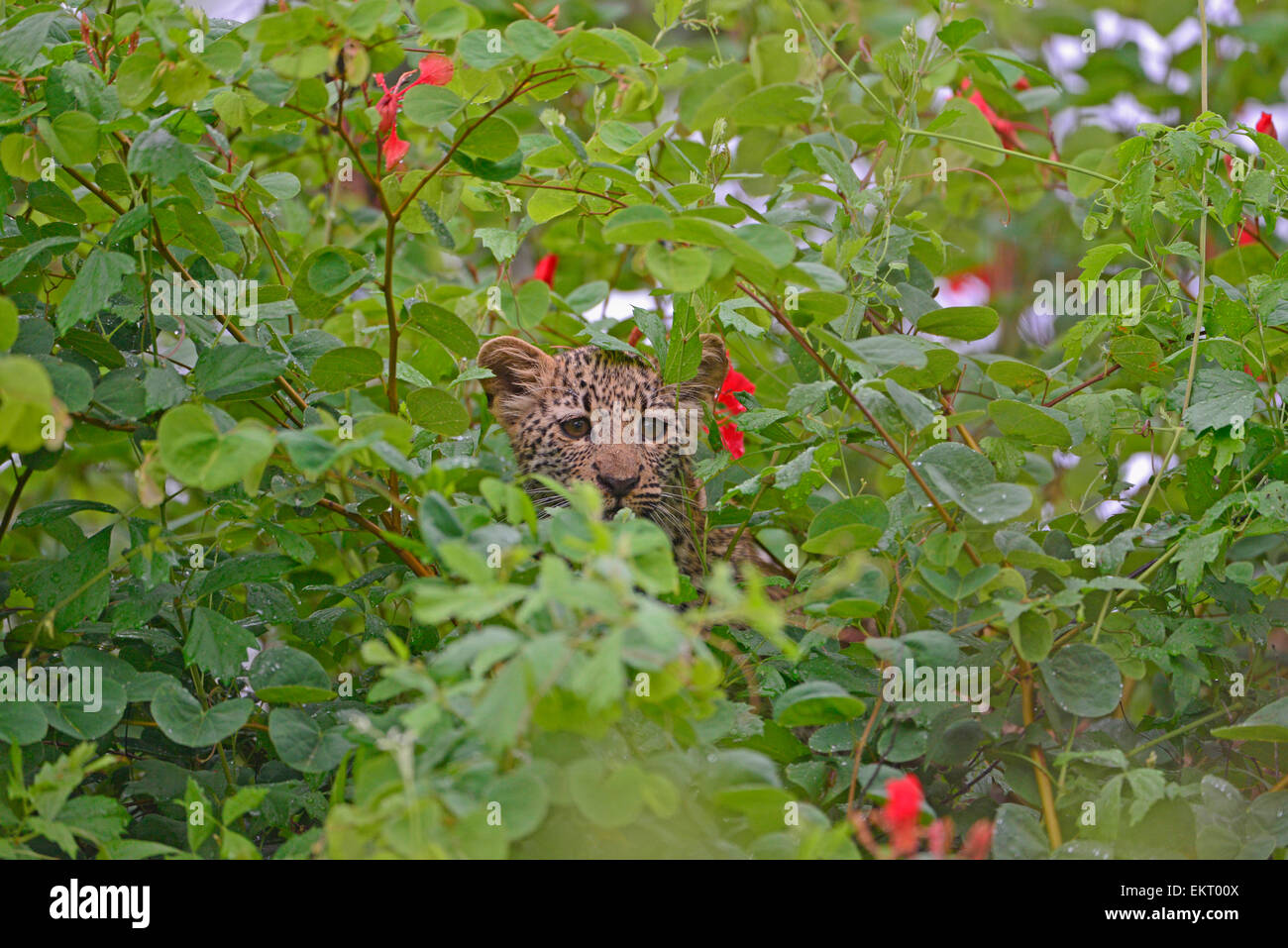 Leopard cub peeping through leaves and flowers of green Bauhinia galpinii or Pride of de Kaap, Kruger Park, South - Stock Image
