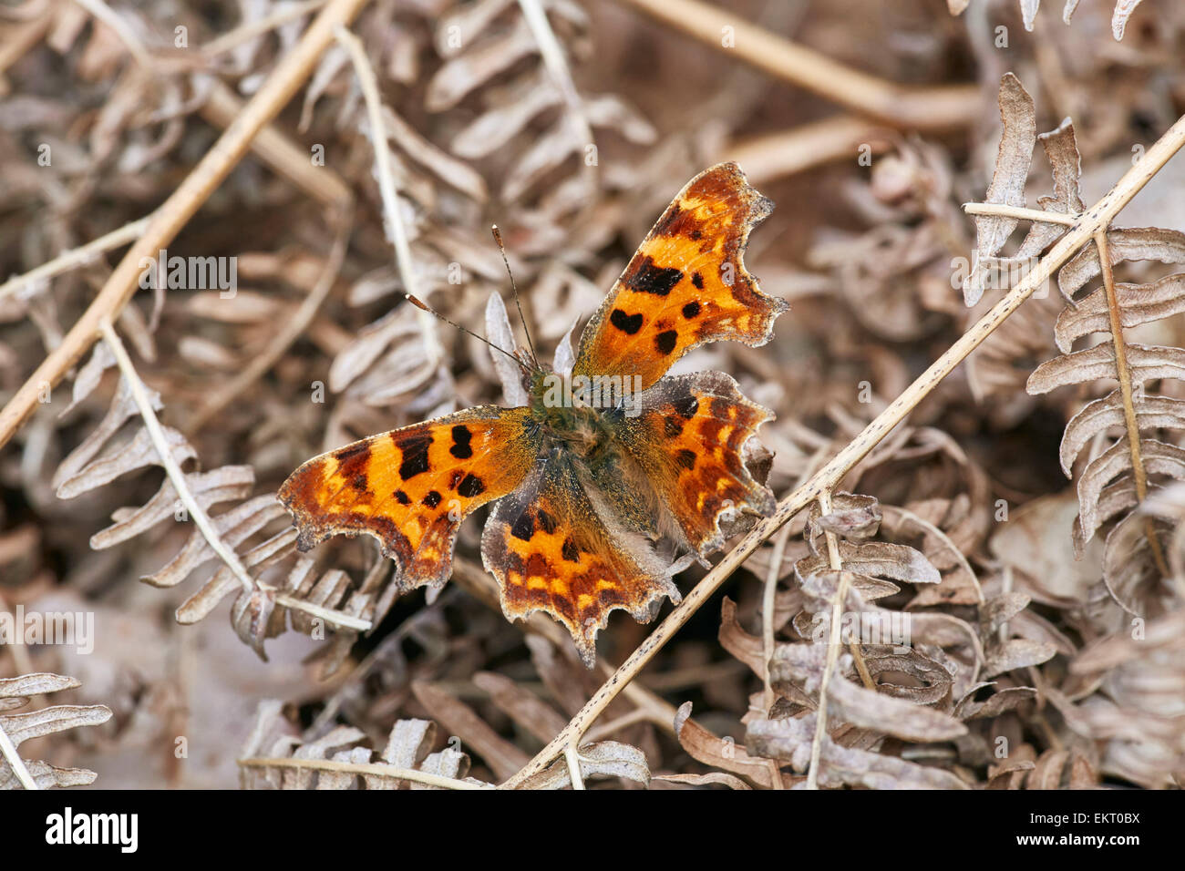 Comma butterfly on dead bracken after waking from hibernation. Bookham Common, Surrey, England. - Stock Image