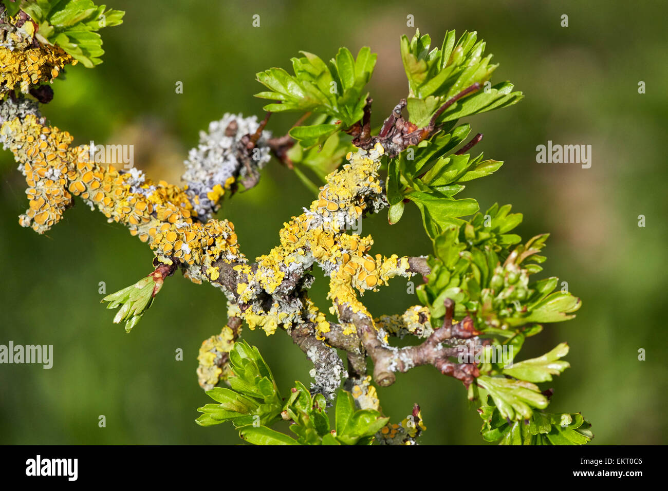 Spring leaves on an old lichen-covered Hawthorn tree.  Hurst Meadows, West Molesey, Surrey, England. - Stock Image