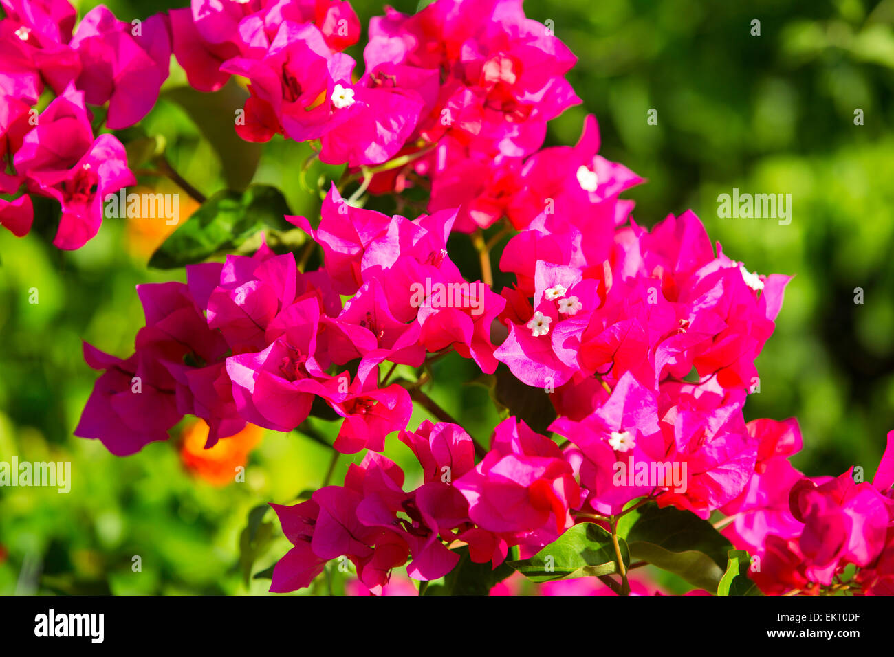Bougainvillea at Cape Maclear on the shores of Lake Malawi, Malawi, Africa. - Stock Image