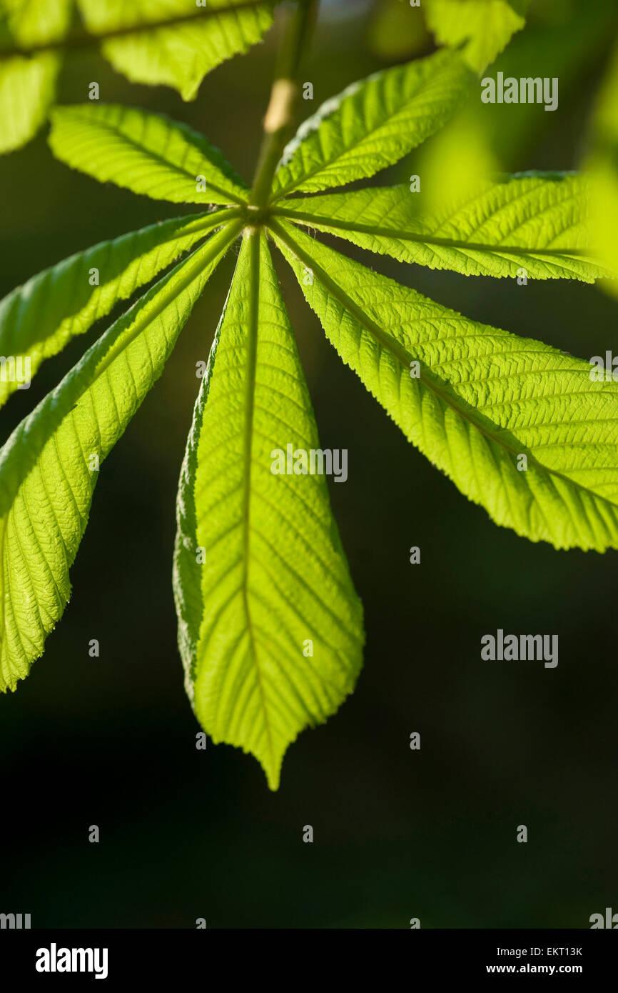 Bluete,Bluetenkerze,Blossom,bloom,Aesculus hippocastaneum,Rosskastanie,Horse-chestnut,Conker tree - Stock Image