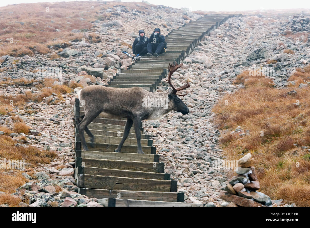 People Photographing Woodland Caribou Walking On Alpine Tundra, Mount Jacques Cartier, Gaspesie National Park, Quebec - Stock Image