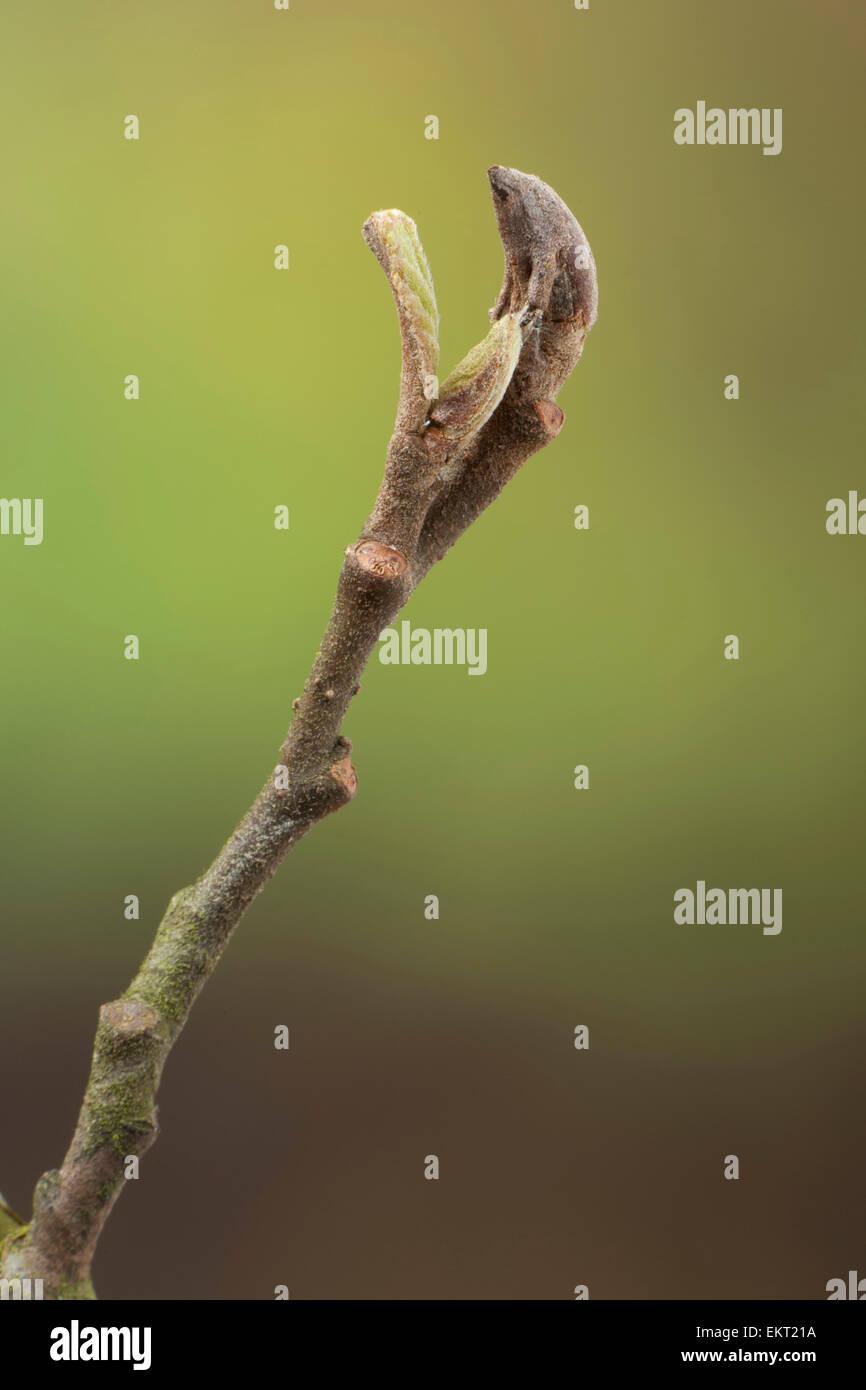 Knospe,Bud,Trieb,Triebspitze,Shoot,Young Shoot,Bluete,Blossom,Bloom,Alnus glutinosa,Schwarz-Erle,Black Alder - Stock Image