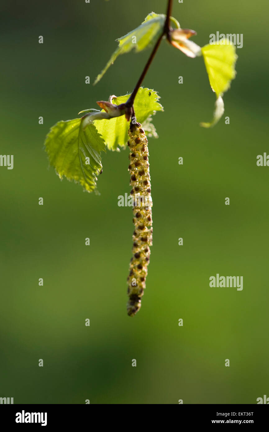 Young shoot,blossom,Blueten,Junger Trieb,Betula pubescens Stock Photo