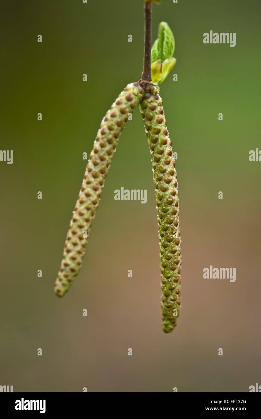 Young shoot,blossom,Blueten,Junger Trieb,Betula pubescens Stock Photo