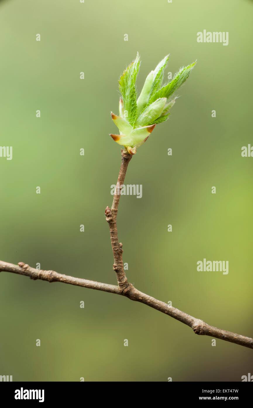 Knospe,Bud,Trieb,Triebspitze,Shoot,Young Shoot,Bluete,Blossom,Bloom,Carpinus betulus,Hainbuche,Common hornbeam - Stock Image
