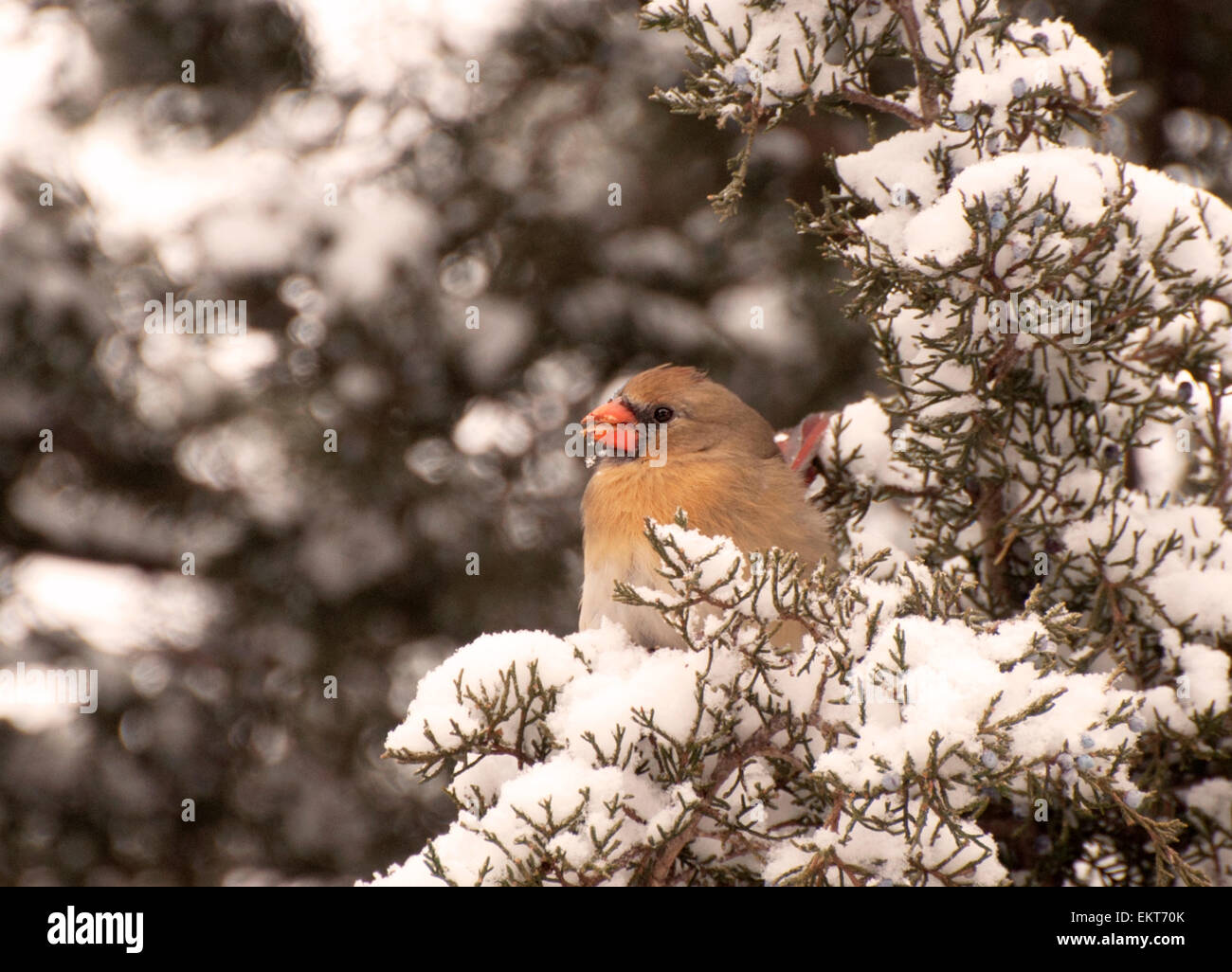 Female cardinal on snow covered cedar branch - Stock Image