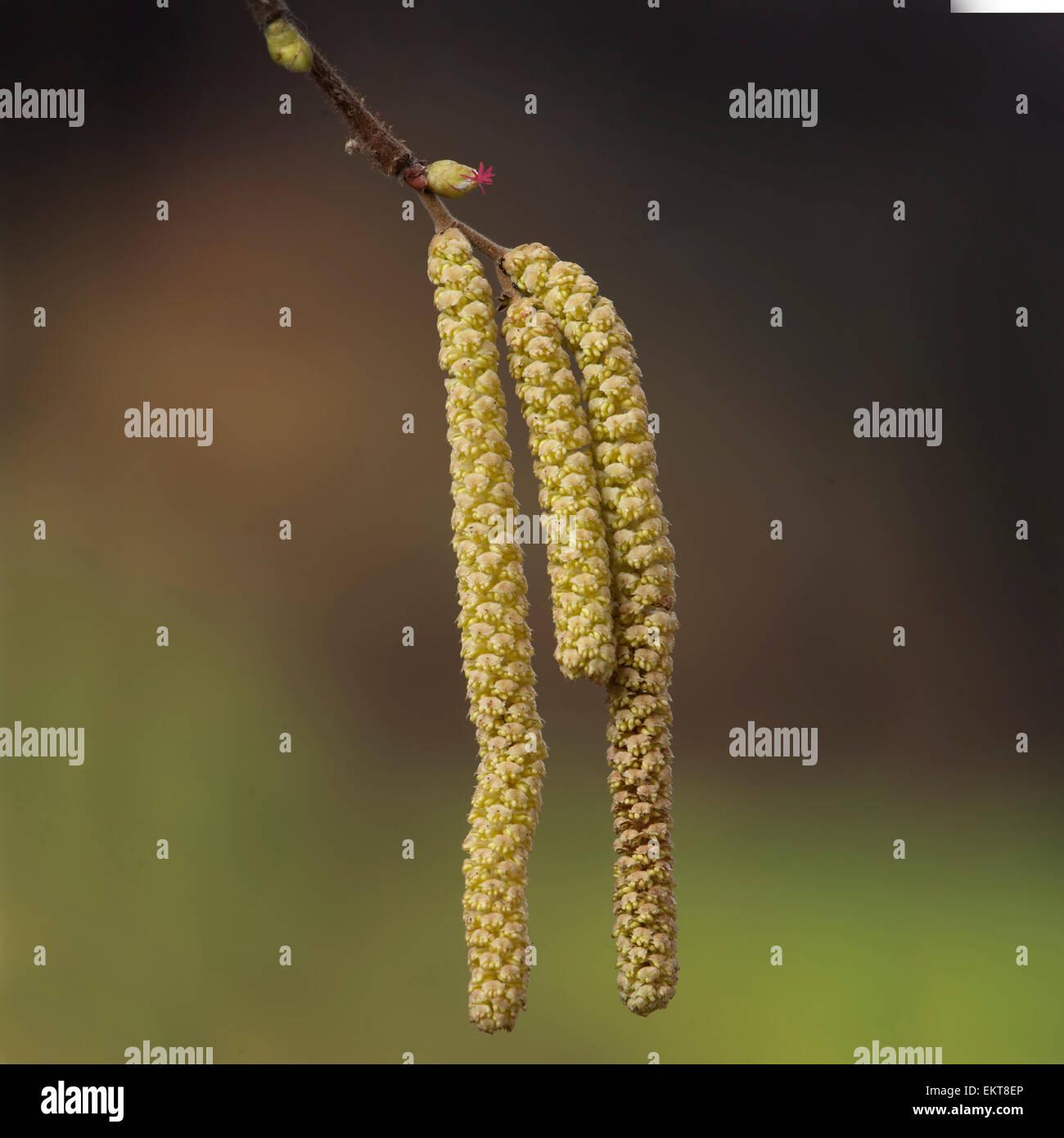 Knospe,Bud,Trieb,Triebspitze,Shoot,Young Shoot,Bluete,Blossom,Bloom,Corylus avellana - Stock Image