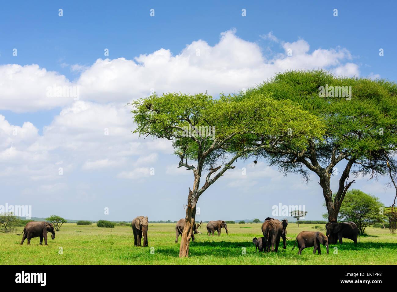 Loxodonta africana Portrait of elephant group under acacias in Tarangire National Park, Manyara Region, Tanzania, - Stock Image