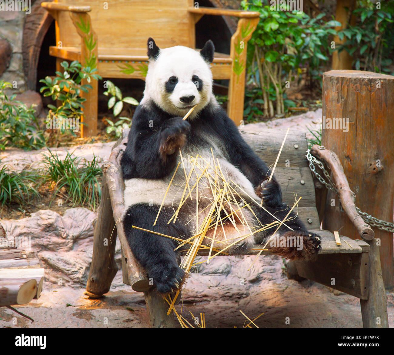 Giant panda bear eating bamboo in Chiang Mai Zoo, Thailand - Stock Image