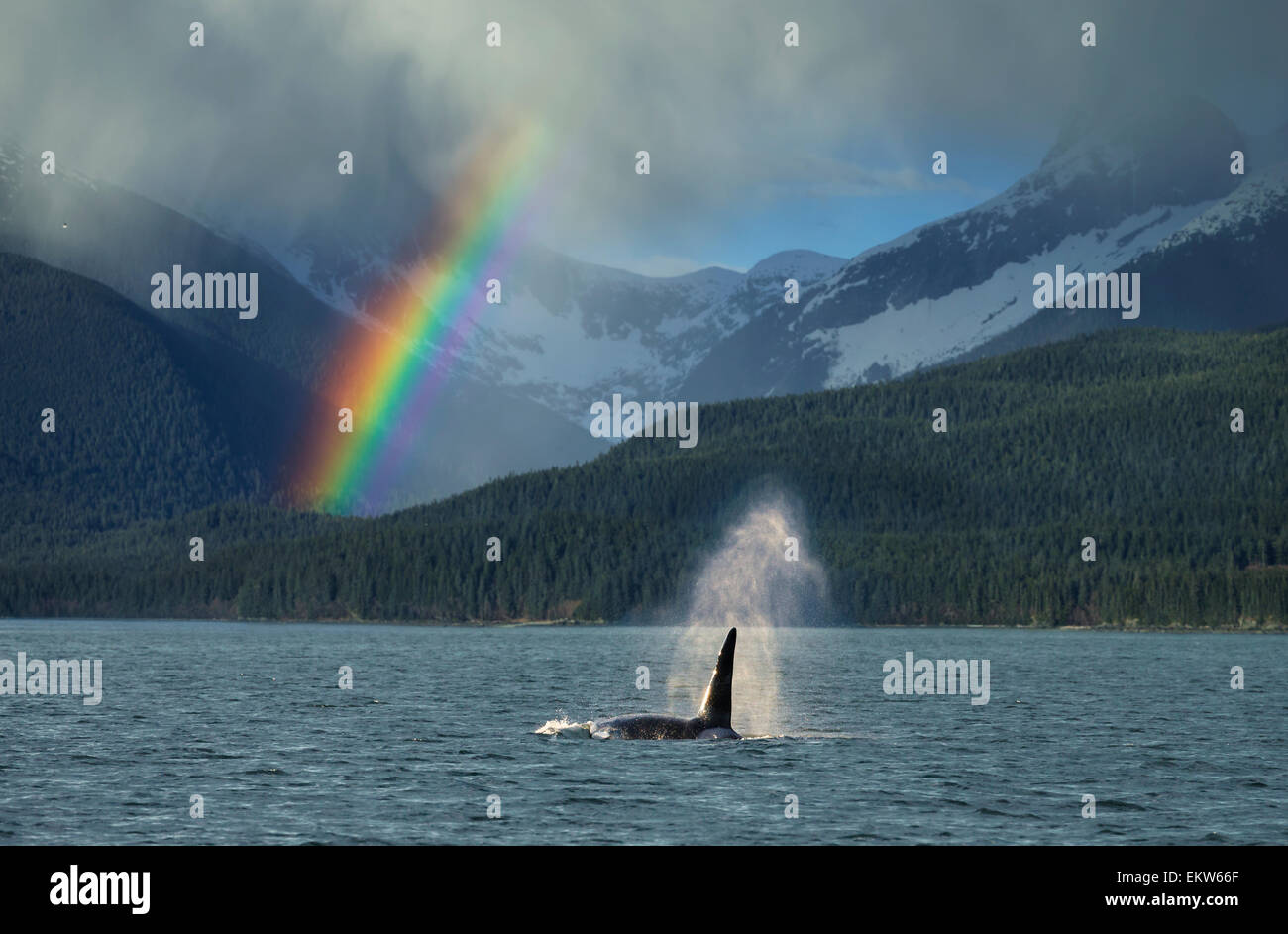 COMPOSITE: Male Orca whale surfaces in Lynn Canal with a rainbow and ...