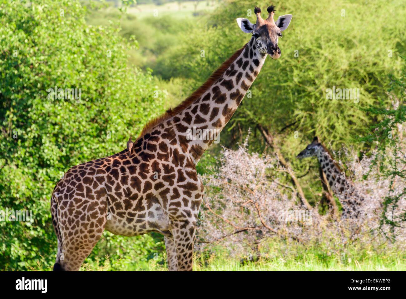 Giraffa camelopardalis Portrait of giraffe in Tarangire National Park, Manyara Region, Tanzania, Africa. - Stock Image