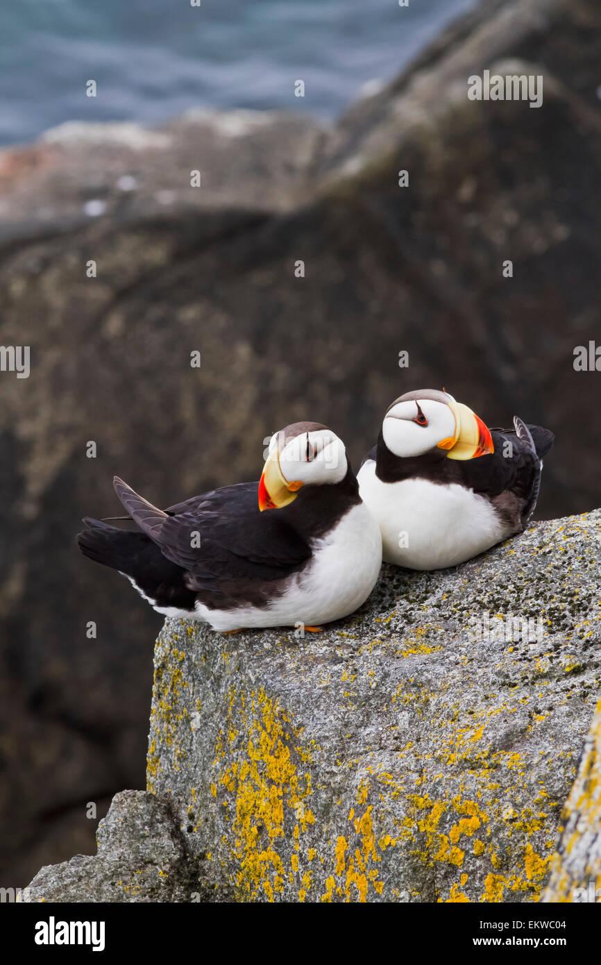 USA,Alaska,Horned Puffin,Bristol Bay Stock Photo