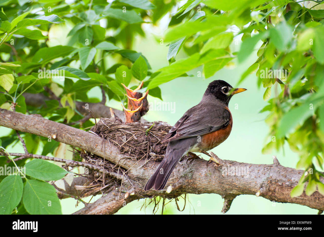 Robin bird on branch by nest of baby birds - Stock Image