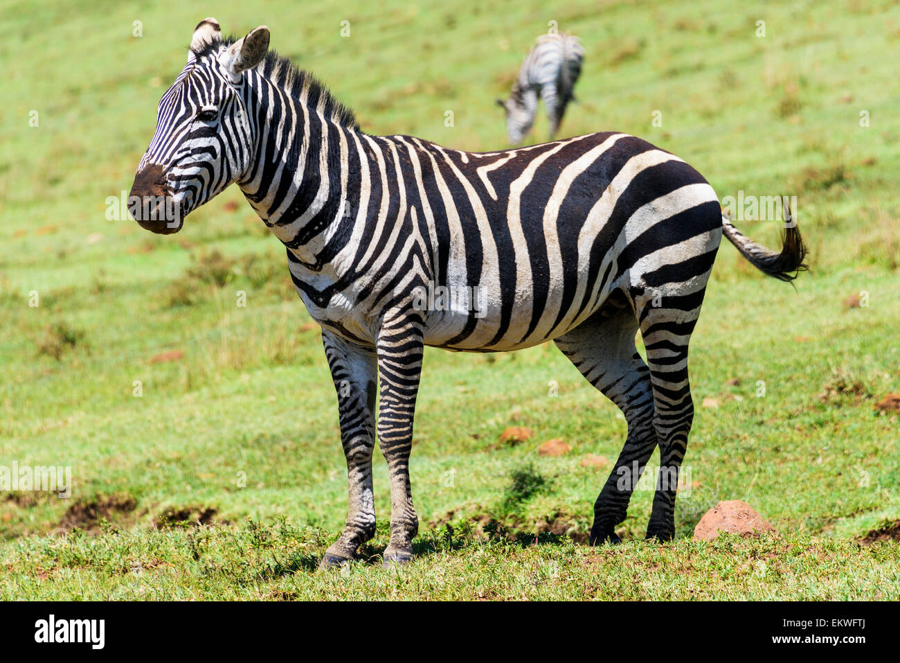 Equus quagga Zebra portrait in the Ngorongoro crater slopes going to Serengeti, Tanzania, Africa - Stock Image