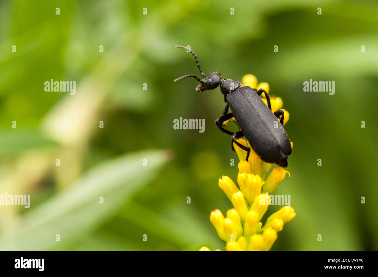 Black blister beetle bug on yellow goldenrod - Stock Image