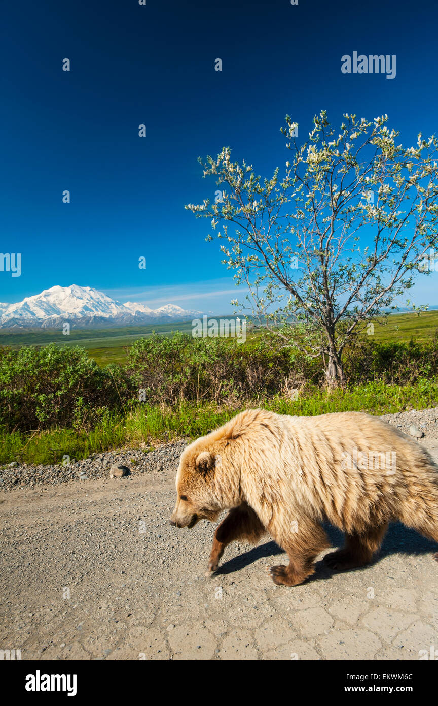 Grizzly bear walking - photo#35