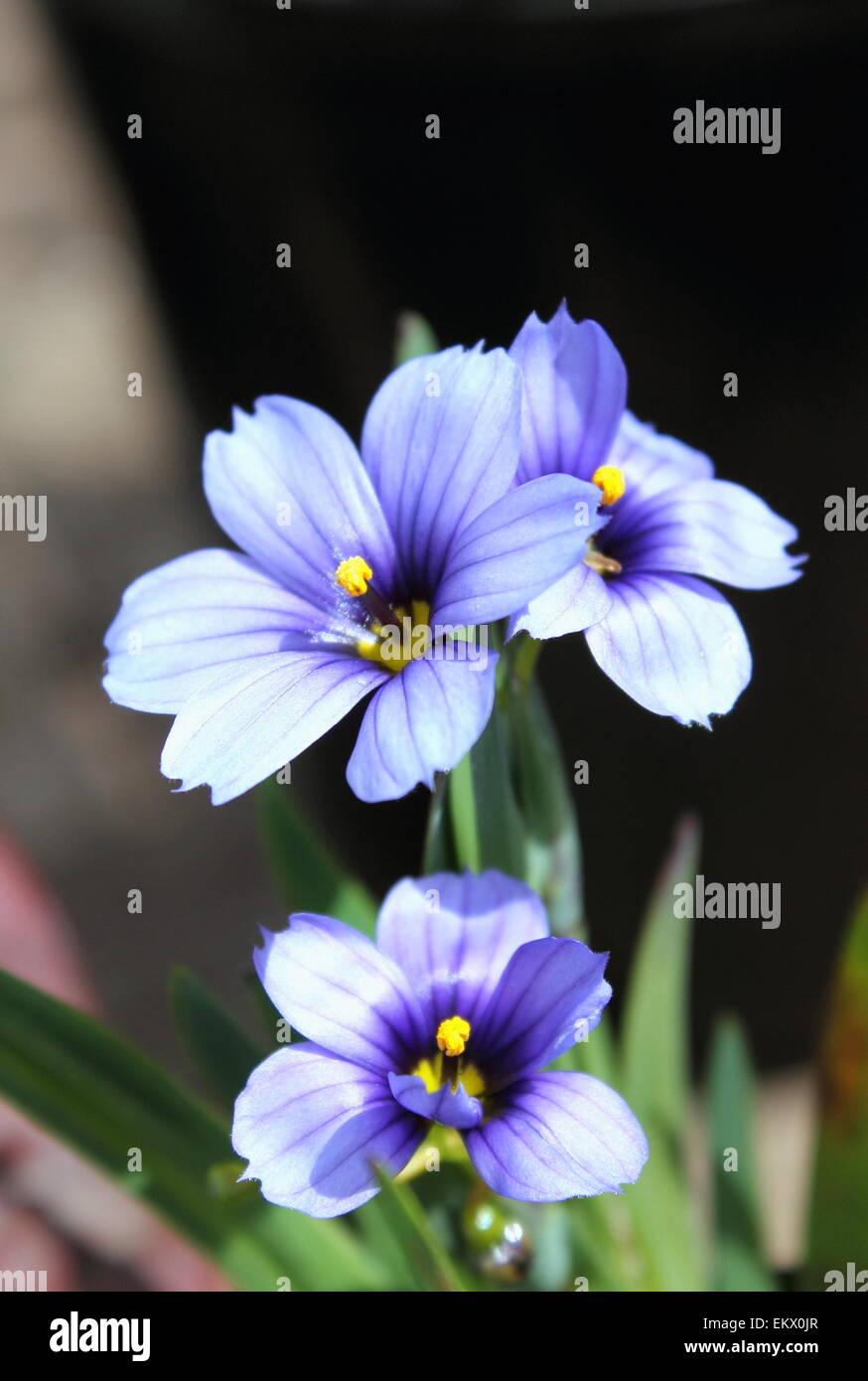 Sisyrinchium 'Californian Skies' - Stock Image