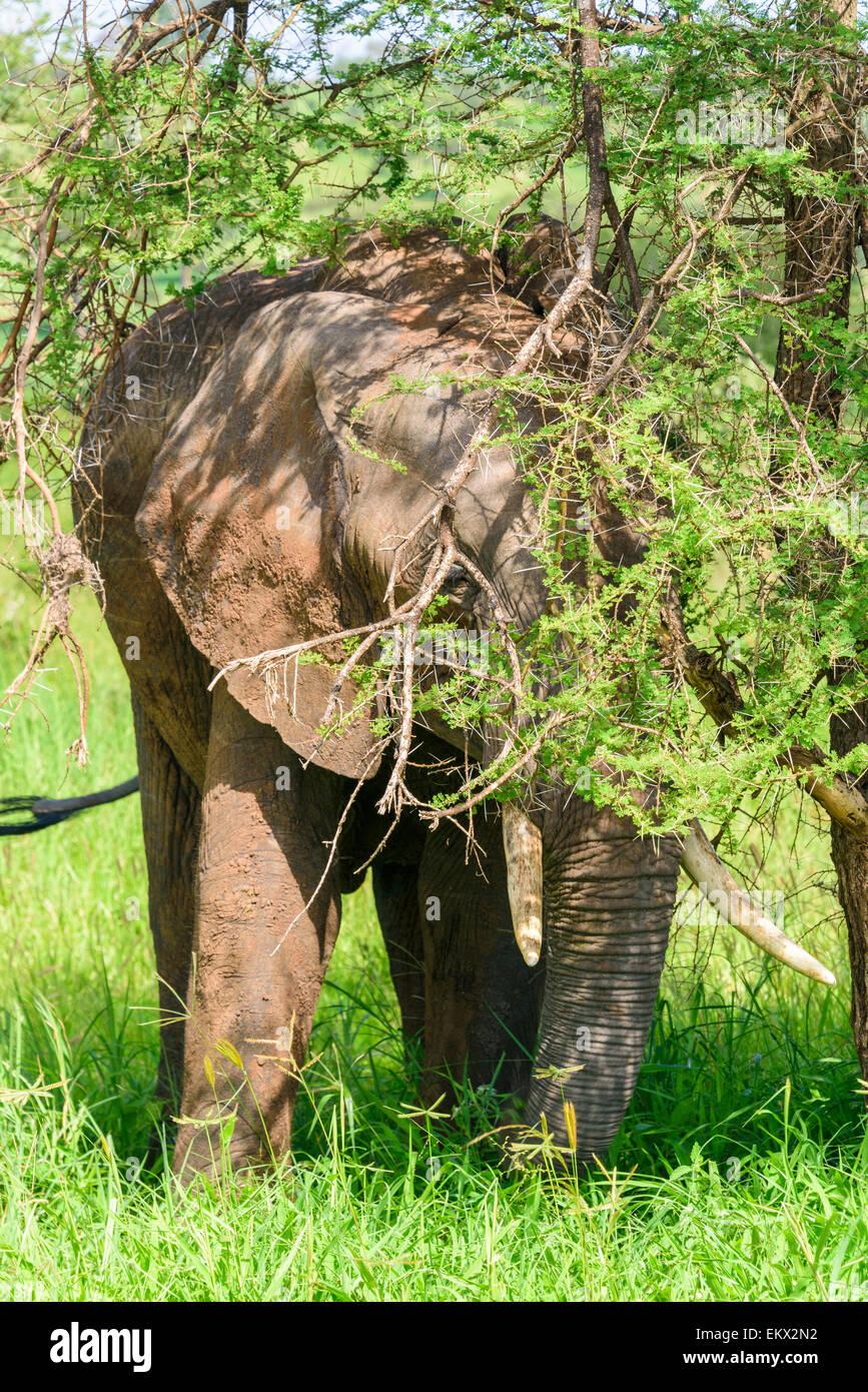 Loxodonta africana, tembo, ndovu, Portrait of elephant eating in Tarangire National Park, Manyara Region, Tanzania, - Stock Image